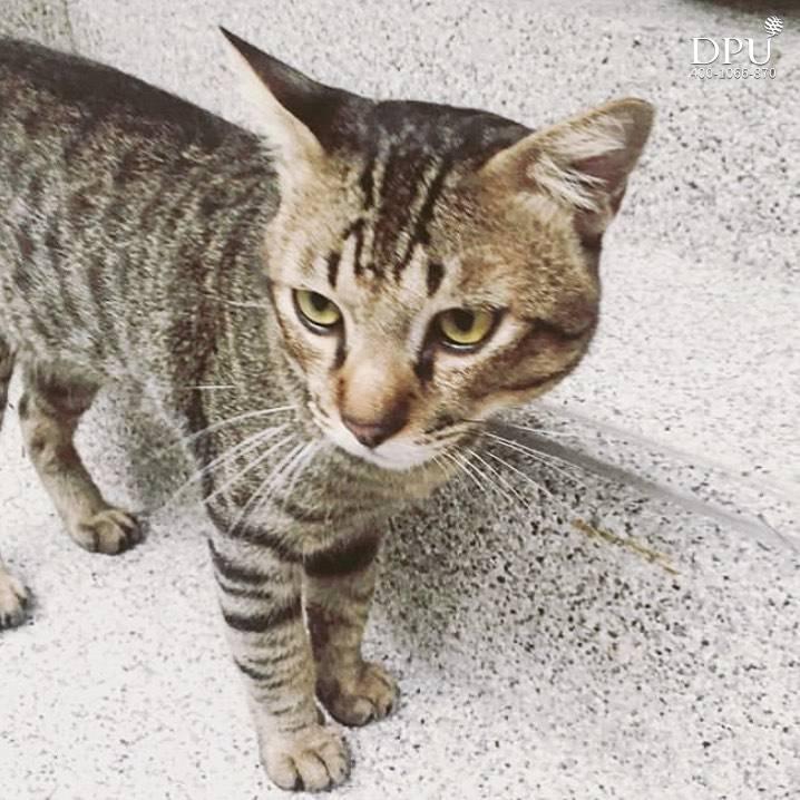 Tiger-狸花猫